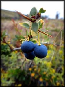 wild blue berries chalten