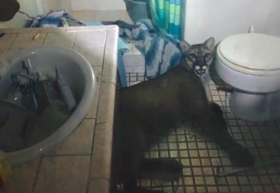 فيديو : رجل يتفاجئ بوجود أسد داخل دورة مياه منزله
