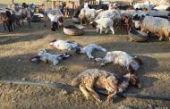 كلاب ضالة تقتل عددا كبيرا من الأغنام قرب برشيد