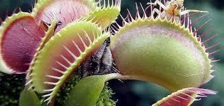 النباتات آكلة اللحوم في العالم تتعرض لخطر الانقراض