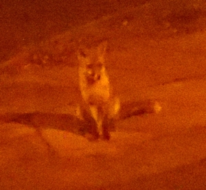 Night fox