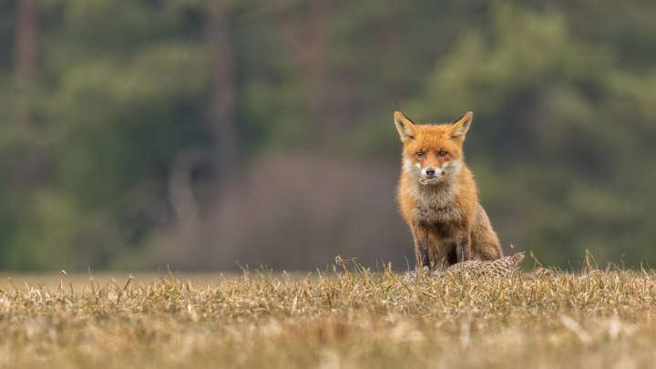 Did Bronze Age Europeans Keep Foxes As Pets?