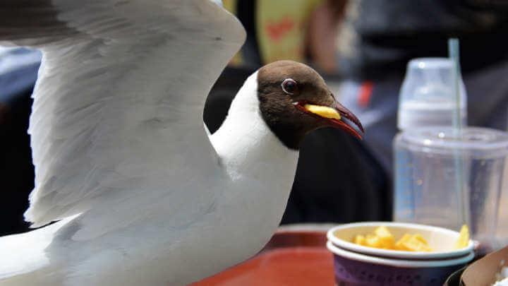 Are Your Fries Under Threat From An Incoming Seagull? Stare It Down, Say Scientists