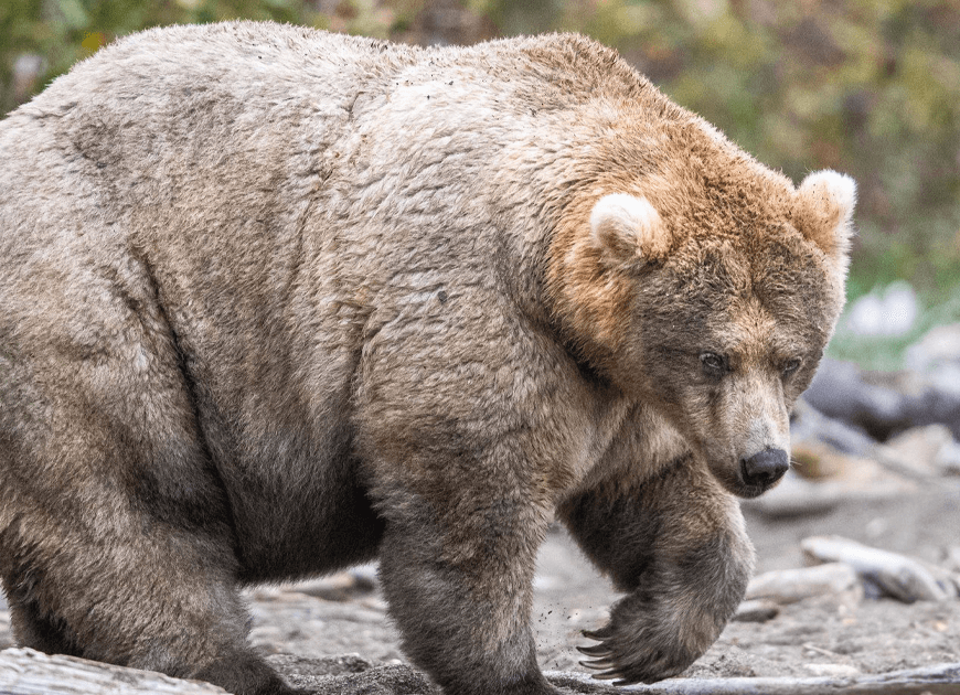 This National Park In America Has A Fattest Bear Competition And Here Are Its Top 8 Chonky Fluffs