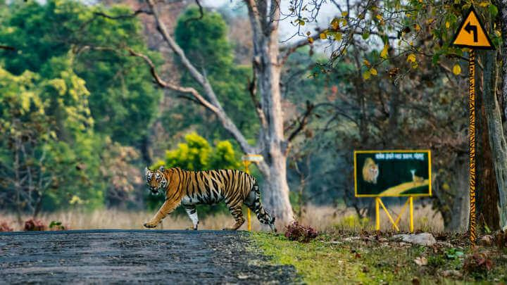 Tiger Makes Epic 1,300-Kilometer Journey Across India Looking For Food And Sex