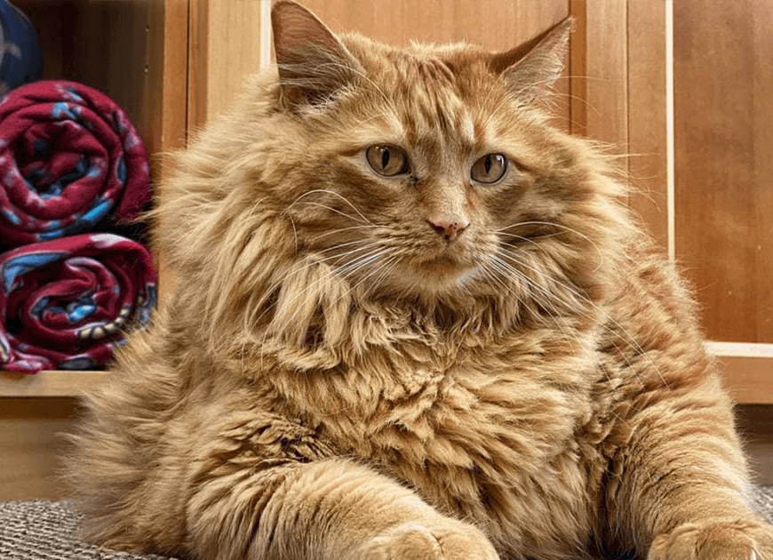Meet Bazooka, An Overfed And Obese Cat Whose Life Changed Once He Met This Marathon Runner