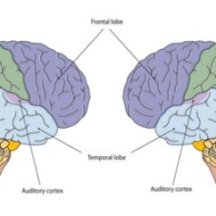 Right Lateral Brain Diagram Electrolux Parts Introduction Of Cerebral Hemispheres - Assignment Point