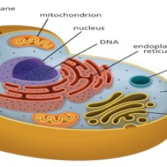 Human Cell Wall Diagram Labeled Jeep Radio Wiring Structure Function And Organisation Assignment Point Each Of The 46 Chromosomes Contains Dna For Thousands Individual Genes