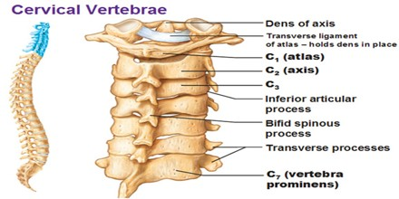 cervical vertebrae diagram square d load center wiring assignment point the second vertebra is called axis c2 and joint it forms with atlas allows head to rotate tilt
