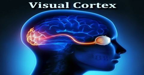 brain diagram thalamus ez dumper wiring visual cortex - assignment point