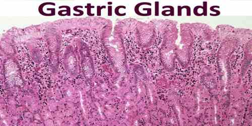 Gastric Glands - Assignment Point