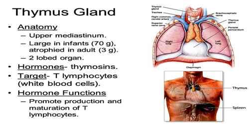 Thymus Gland - Assignment Point