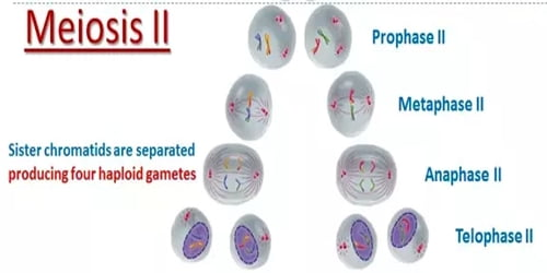 Meiosis (Phases) - Assignment Point