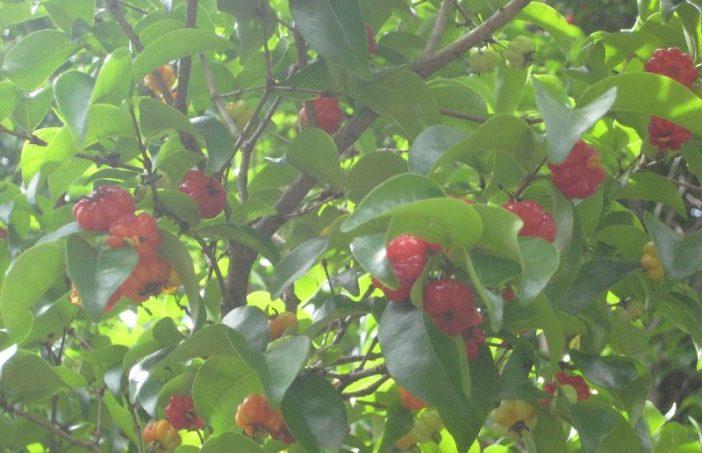 pitangas na árvore