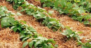 planta com cobertura morta