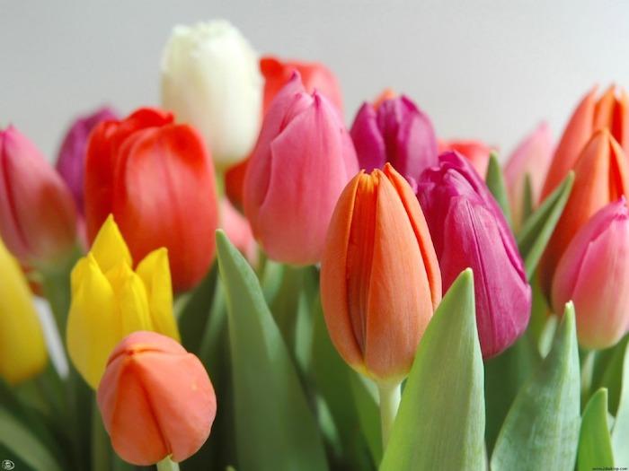tulipas diferentes cores
