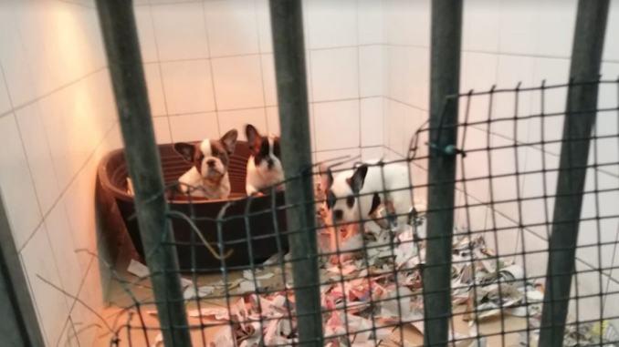 Sequestrati nove cuccioli di Bouledogue francese importati dall'estero
