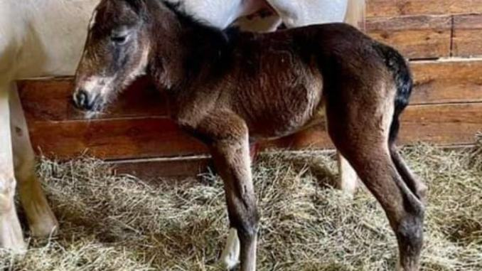 "La cavallina bianca ""Via Lattea"" ha partorito il suo primo puledro"