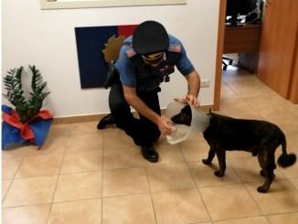 Non sopporta collare elisabettiano, cane meticcio scappa dopo cure veterinarie