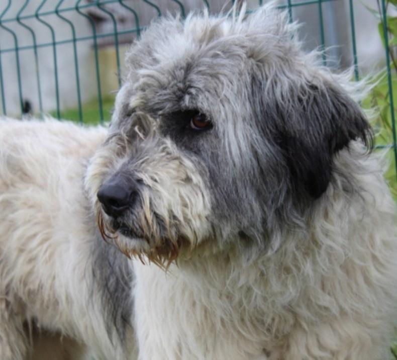 AGATHE - berger roumain 6 ans - Asso Galia à Fontenay le Comte (85) IMG_20210201_162040