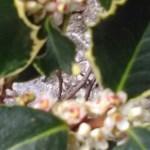fiore di bach holly