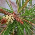 fiore di bach pine