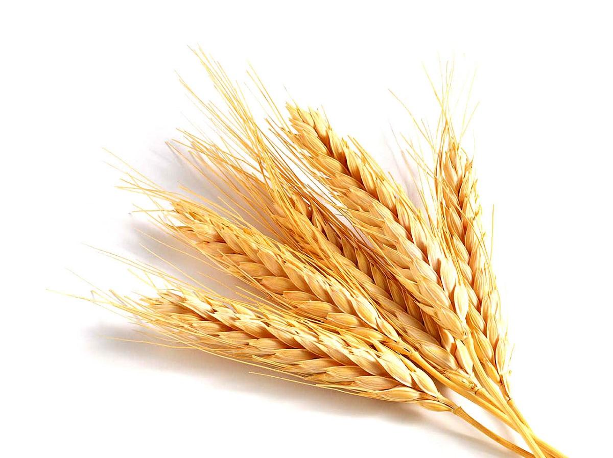 تنظيم الدولة يكسب نحو 200 مليون دولار سنوياً من تصدير القمح