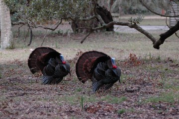 How to Cook Wild Turkey Legs and Thighs