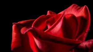 Rød rose