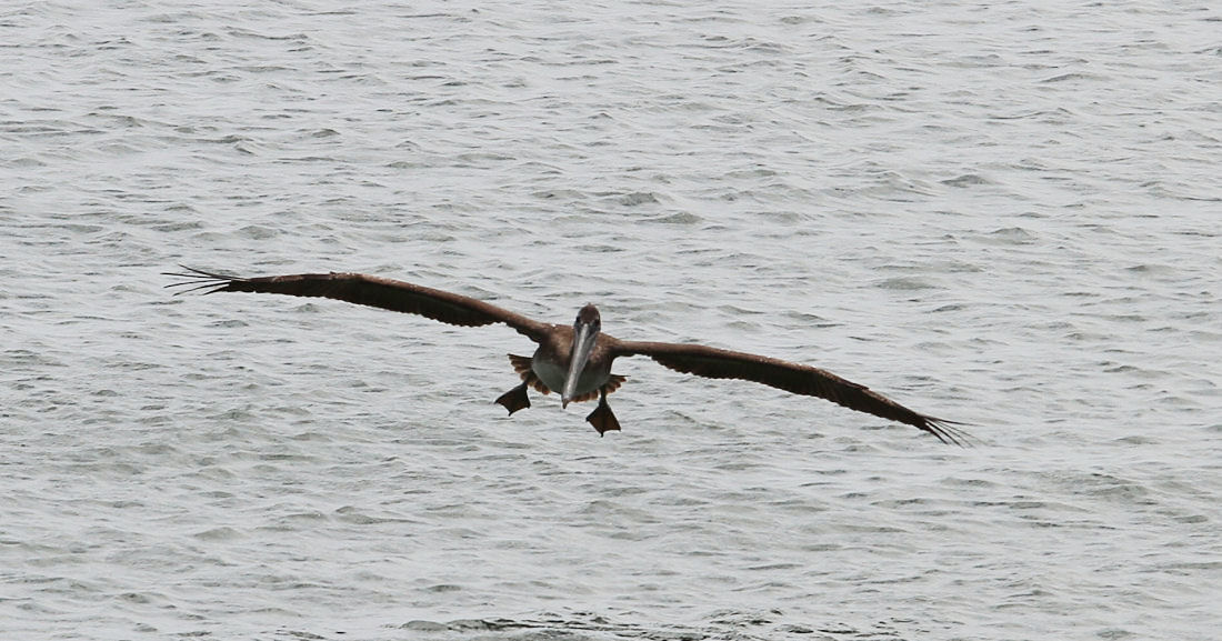 California: Brown Pelican