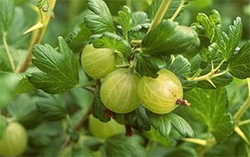 Amalaki Ekadashi in 2016 is a very special day for Indian gooseberries that are also known as Amla.