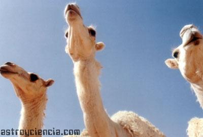 Camellos, los barcos del desierto