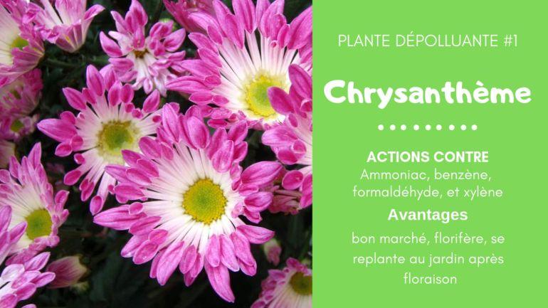 chrysanthemum morifolium entretien chrysanthemum morifolium blanc chrysanthemum morifolium rouge chrysanthemum indicum chrysanthème chrysanthemum en francais chrysantheme chrysanthemum maximum