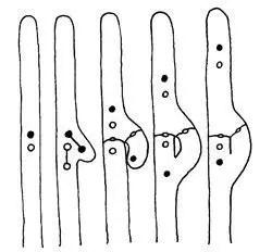 Basidiomycetes. Características generales