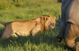 Lucha de Gigantes, León vs Rinoceronte