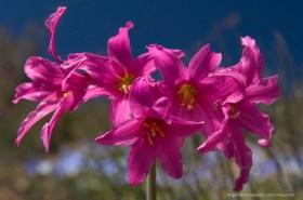Rhodophiala laeta, a rare magenta lily of the coastal desert of Paposo, Chile
