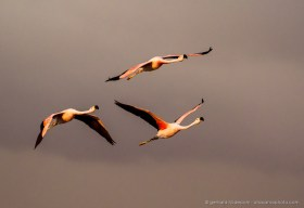 Andean flamingos (Phoenicoparrus andinus) above Salar de Atacama, perfect evening light