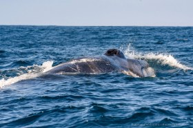 Close encounter with a giant fin whale (Balaenoptera physalus) at the coast of the Atacama desert