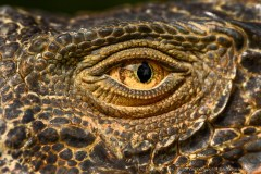 View from prehistoric times - Green Iguana eye close up, Costa Rica