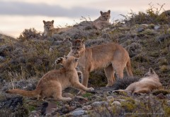 Puma mother with her four cubs, playing and relaxing in the wild of Patagonia