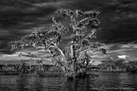 Black and White: Inundated Macrolobium tree at sunset, lake Cuyabeno, Ecuador