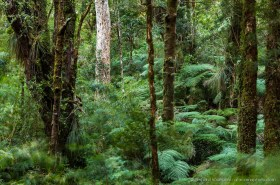 Ferns and moss covered trees in the dense Valdivian Rainforest, Chile - ferns blurred by wind