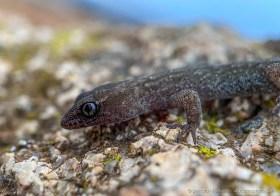 South American Leaf-toed gecko or Salamanqueja (Phyllodactylus gerrhopygus) at the Atacama coast of Paposo