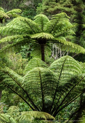 Dense tree fern forest at Coromandel, New Zealand