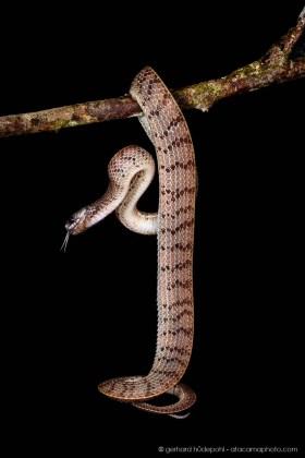 Inger's Slug-eating snake (Asthenodipsas ingeri), a new species of the mountane rainforest of Borneo