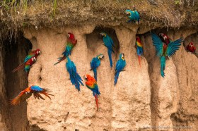 Three species of Macaws at a clay lick, Tambopata Reserve, Peru: Scarlet macaw, blue-yellow macaw, red-and-green macaw