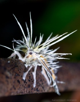 Cordyceps fungus has attacked and killed a moth, tropical rainforest of Madidi Bolivia
