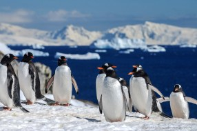 Group of Gentoo penguins on a hill with view over icebergs, Antarctica