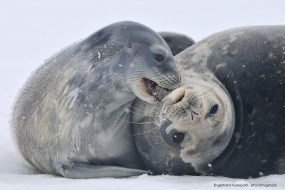 Weddell seal pup (Leptonychotes weddellii) playing with mother, Antarctica