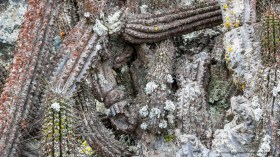 The cactus (Eulychnia iquiquensis) in the fog oasis of Morro Moreno national park are heavily covered with many different species of lichens